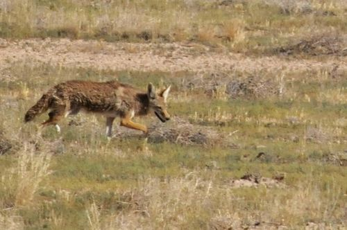 Coyote On The Thompson Farm
