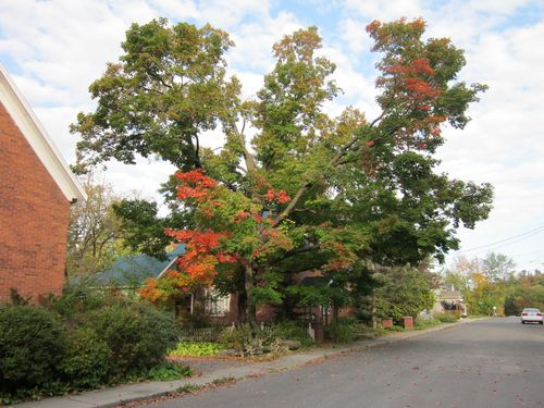 Shepherd Street Maple BEFORE 1 September 26 2011
