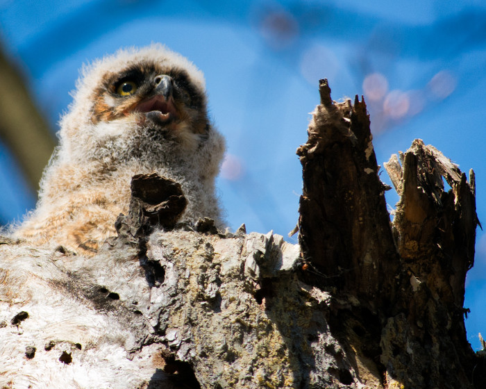 Great-horned-owl-chick-3