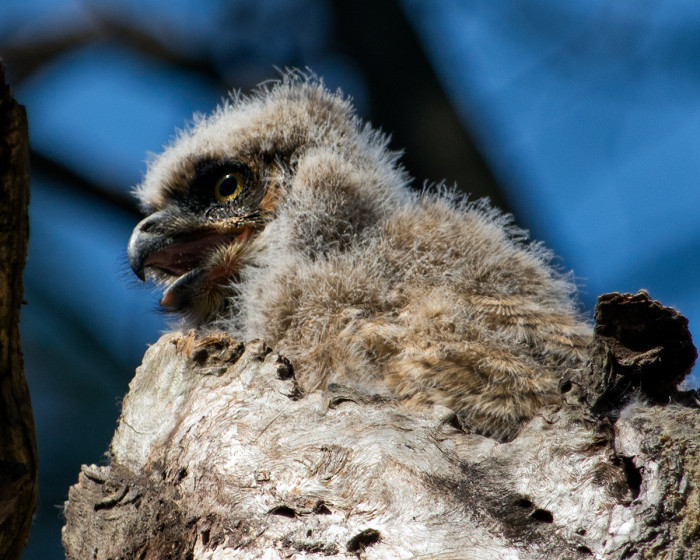 Great-horned-owl-chick
