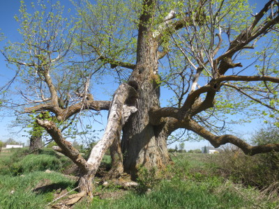 Although it's a tree in decline, this significant basswood is capable of surviving for years to come.