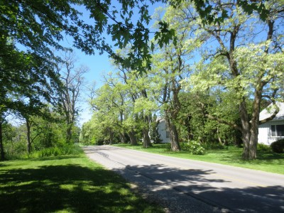 Black locusts are one of the last trees to leaf out in our area.  On June 4 the row at Appleton was in full blossom.