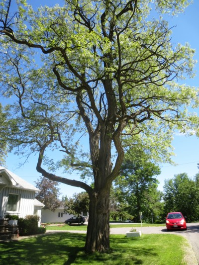 The crown of the black locust is open and the trunk is usually forked and crooked with rough bark.