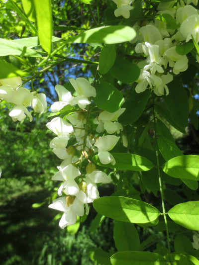 In the spring black locust produces large, drooping clusters of fragrant, white flowers.