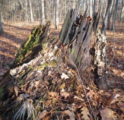 Burned Stump November 21 2012