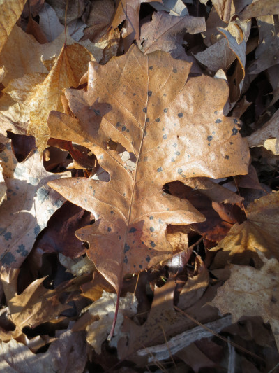 The obovate shaped leaves of burr oaks are broadest beyond the middle.  The lower half is deeply divided into 2-3 lobes on each side, and the upper half has shallow rounded lobes on each side that result in a broad rounded tip.