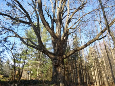 When all the leaves were off, the large, spreading limbs and stout trunk of this Great Fire survivor were easy to observe on November 21, 2012.  With a circumference of 3.5 meters / 11.5 feet, this mature burr oak has been a forest sentinel for more than a few centuries.