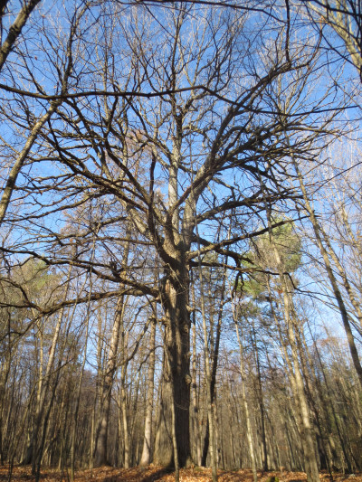 A walk through the woods to the west on November 21, 2012 led to another Great Fire survivor.  A little smaller, with a circumference of 2.7 meters / 8.9 feet, this white oak is an oldie too.  At both locations there were no other trees around of comparable size.