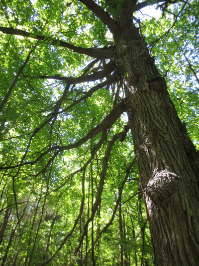 The same tree trunk 6 months later on May 25, 2013, was in shade under a dense canopy of spring leaves.