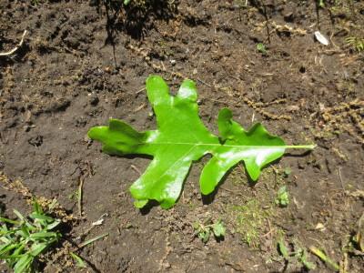 White Oak Leaf May 25 2013