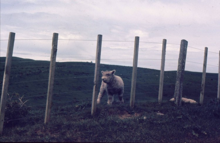 """""""À poor little lamb who has lost his way ..."""""""