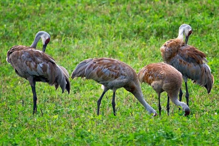 Sandhill-cranes-2