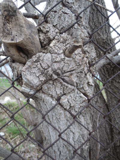 Over at the Almonte Fairgrounds, it looks like a Manitoba maple oozed through the chain link fence.