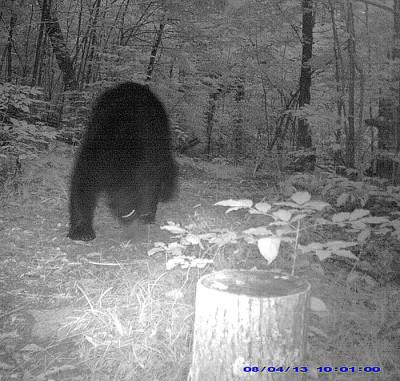 John Fowler's local bear - photo taken at 10:01 pm September 4.  Night time shot with a motion sensitive IR camera