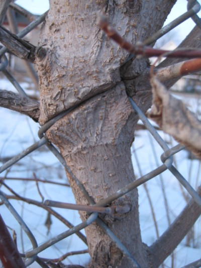 When this photo was taken on March 9, 2010, a young Manitoba maple had just begun its encounter with the chain link fence along the railway tracks by the Almonte branch of the Mississippi Mills Library.