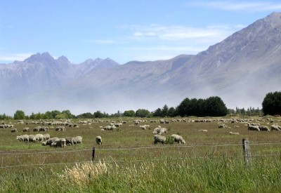 The contented lowland flock.  More sheep were up in those mountains.