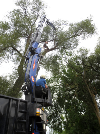 The big black willow came down on Thursday morning, August 29.  It measured 13.5 feet / 4.1 m in circumference at chest height before the work crew arrived at 8:00 a.m