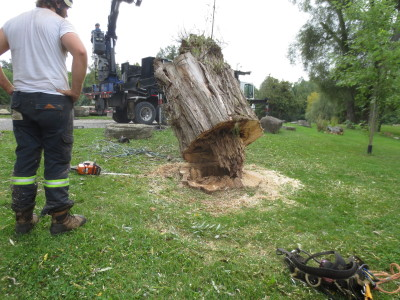 A surprise was waiting when the last trunk section was lifted off.  The removal years ago of a large limb near the base had created an open wound which rotted deep below the surface.