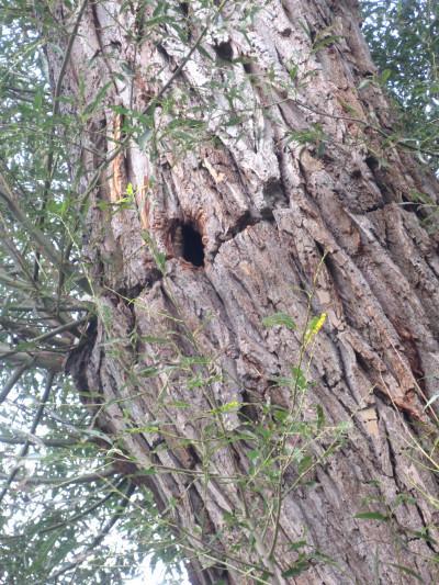 Metcalfe Park Black Willow 9