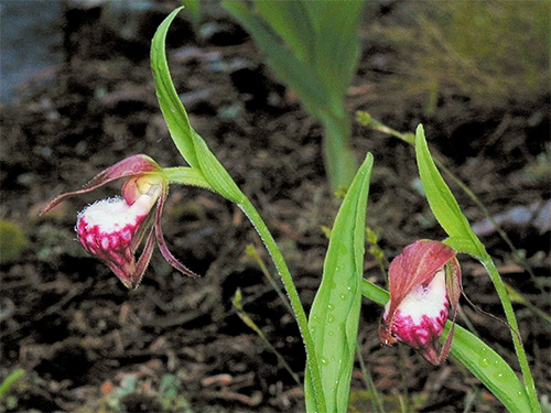 The very rare  Ram's-Head Ladyslipper orchid, found at the alvar.