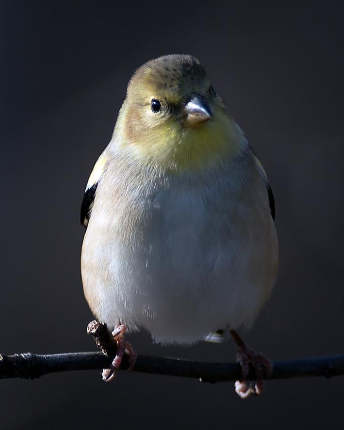 Goldfinch-8