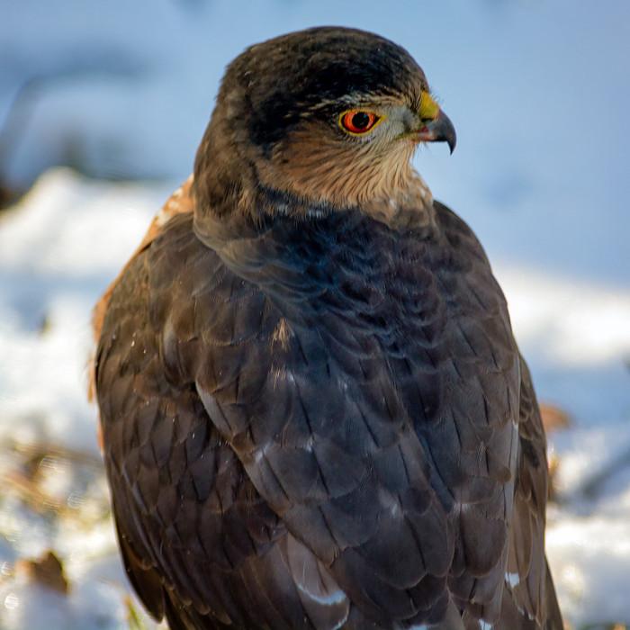 Hawk-3