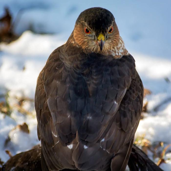 Hawk-4