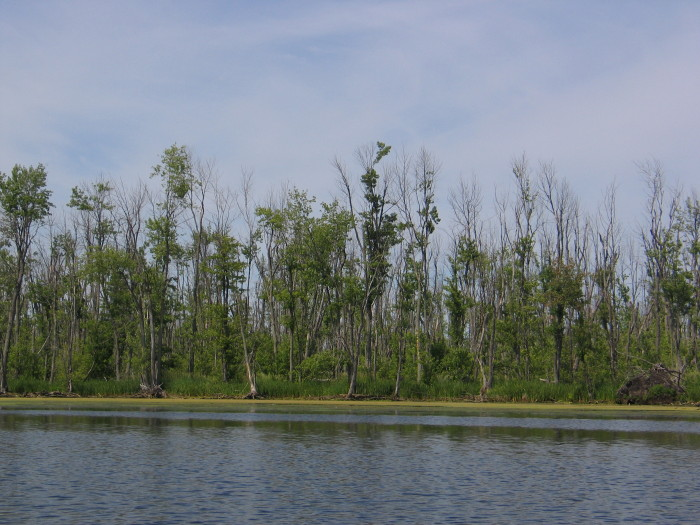 Exploring the Mississippi River by kayak is a great way to get close to the Appleton wetlands.  The bare, bleak branches of dead silver maples dominate this 2012 shoreline view.  Photo courtesy of Al Seaman.