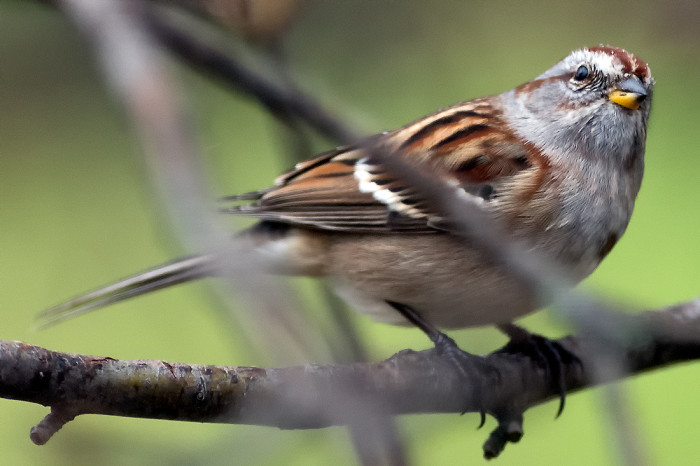 Tree-sparrow-2e