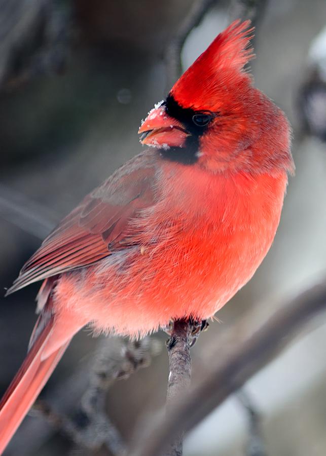 Cardinal-8
