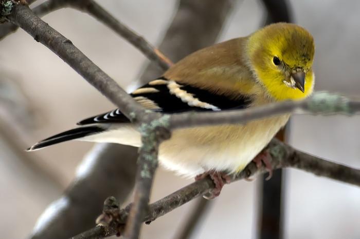 Goldfinch-9