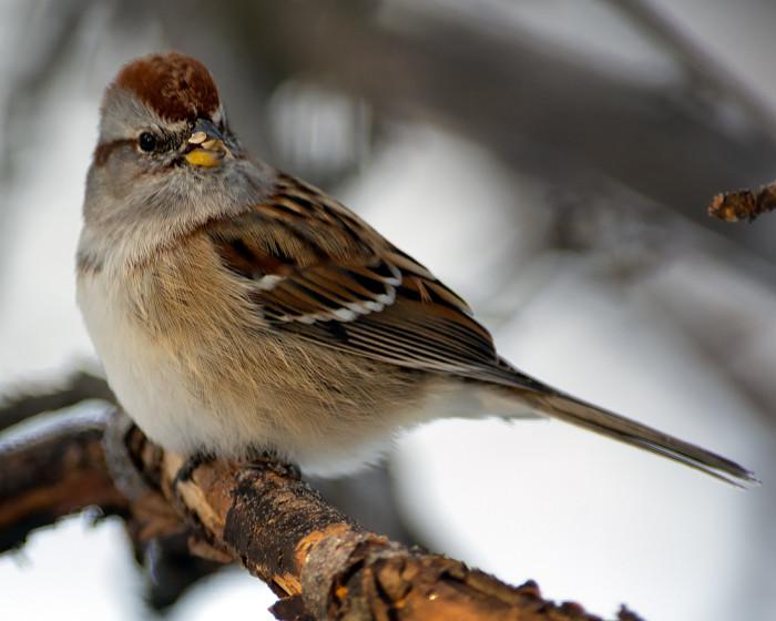 Tree-sparrow-6c
