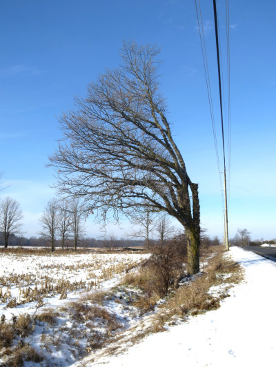 With its leaves off in this December 2012 shot, looking northward, this roadside oak near 3975 County Road 29 has the appearance of reaching, stretching to the west for the sun's energy.
