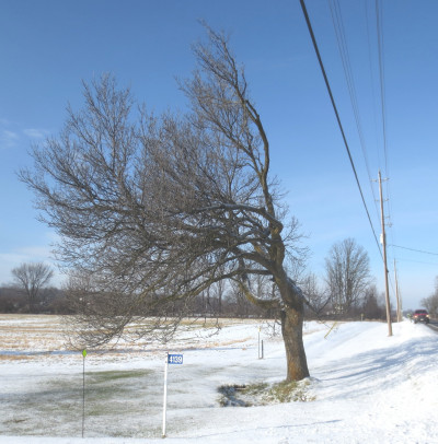 Closer to Almonte, at 4139 County Road 29, this laneway ash grew too close to the highway for the interests of the utility companies whose lines pass nearby.  A December view reveals strong branches on the west side.