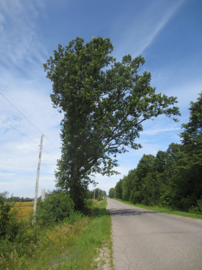 Although many roads in our area have a row of polls along the west side, not all half trees are growing on the westward or afternoon sun side of the lines.  This tall oak, on the 8th line of Ramsay at the Clayton Road, on the way to the Mill of Kintail, is growing between the road and hydro lines.  Years of trimming have kept its branches away from the wires.