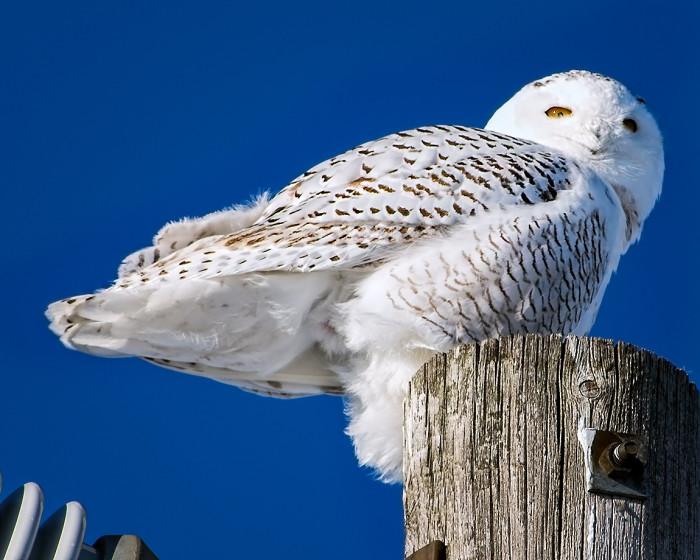 Snowy-Owl-3