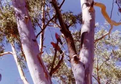 Galahs in a gum tree.