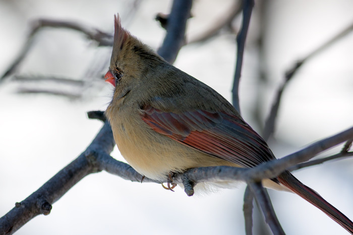 Cardinal-female-7
