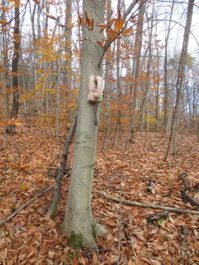 Located not far from the pathway was a touch-tone telephone installed on the trunk of an American beech tree.