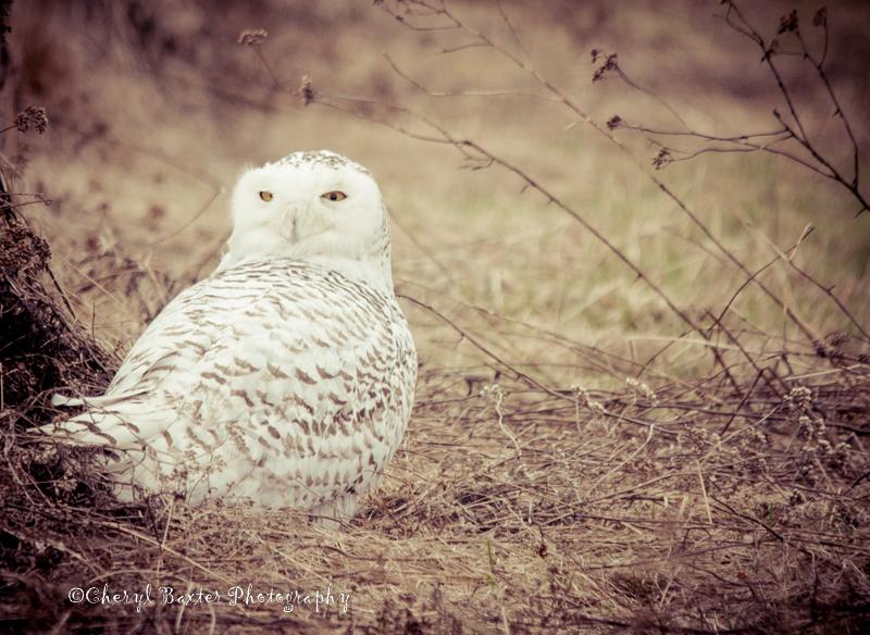 Snowy Owl- Experimental Farm, Ottawa