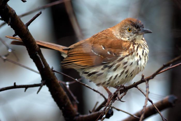 Brown-thrasher-5