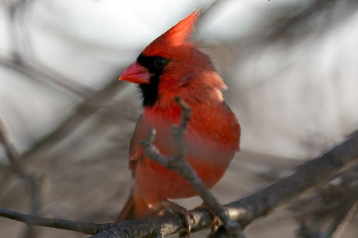 Cardinal-13