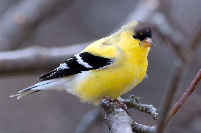 Goldfinch-18