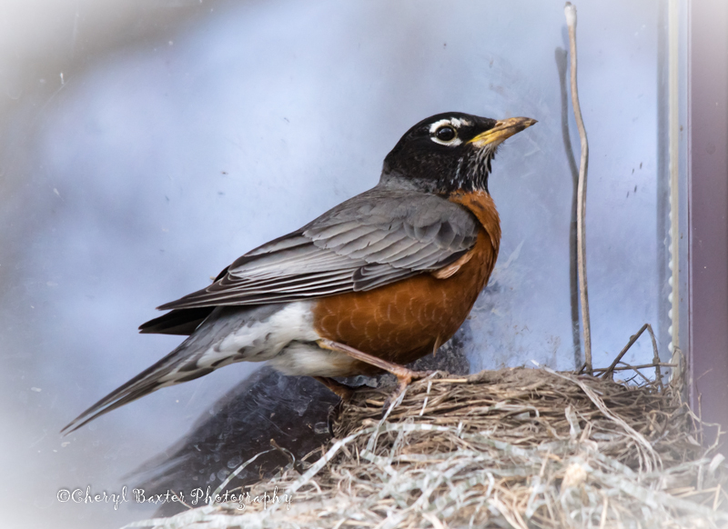 Mr. Robin watching over newly hatched chicks. (Almonte)