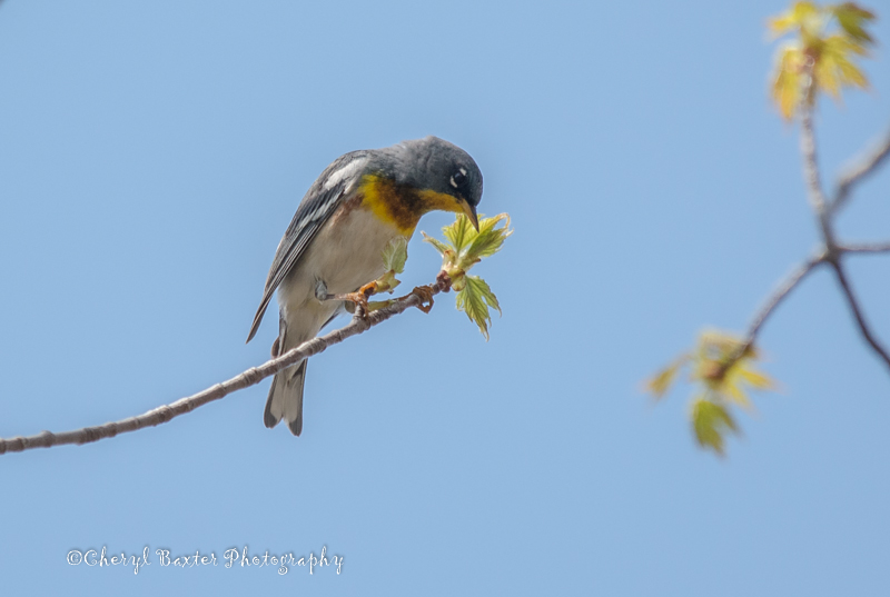 Northern Parula (Lifer bird for me! First time seeing one.- Ottawa)