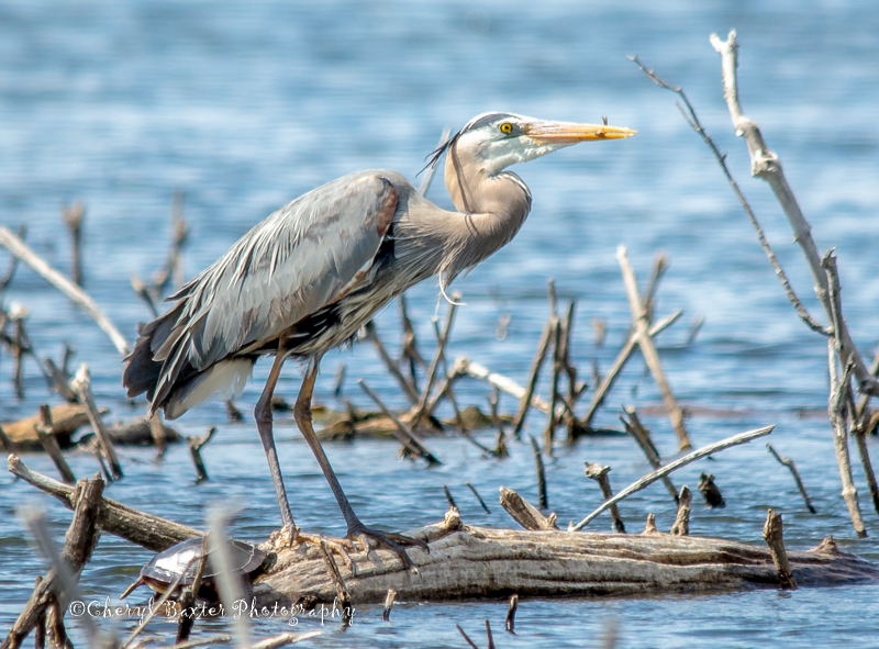 Great Blue Heron with snack. (Ottawa)