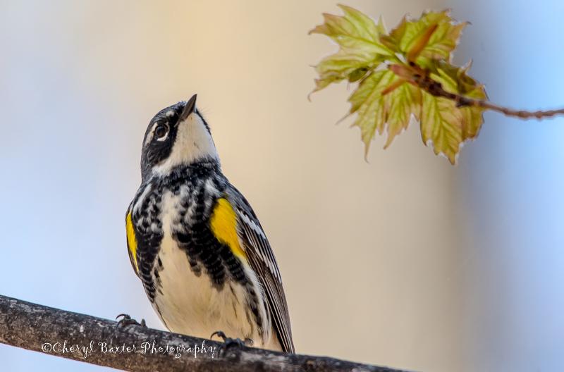 Yellow-rumped Warbler (Ottawa)