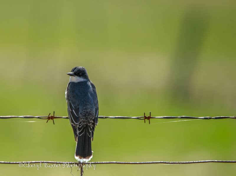 Eastern Kingbird (Cedar Hill Side Road)