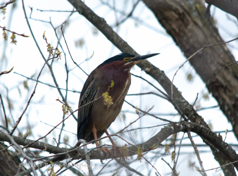 Green Heron (not my best work...but I had to act quickly--this was early on Friday morning in my driveway!)