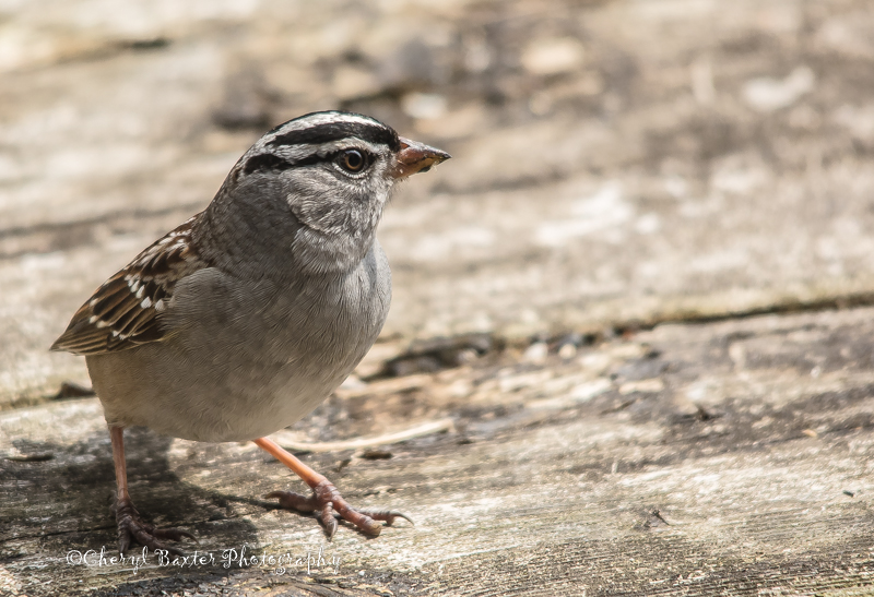 White-crowned Sparrow (My yard)